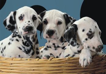 Puzzle Pui de dalmatian in cos, 500 piese