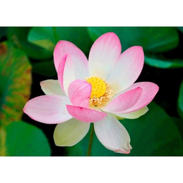 Vedere 3D, Lotus