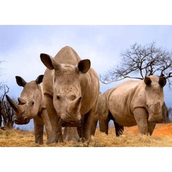 Vedere 3D, Rinoceri